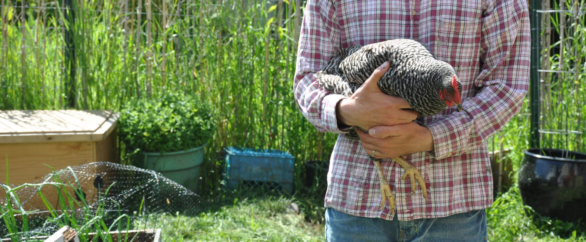 no roost for backyard chickens my grande prairie now